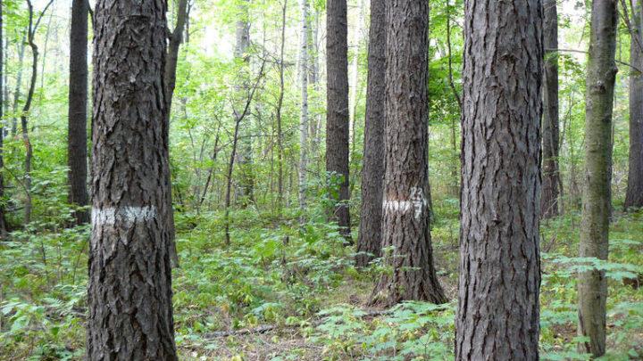 Кедровая роща — биологический памятник природы