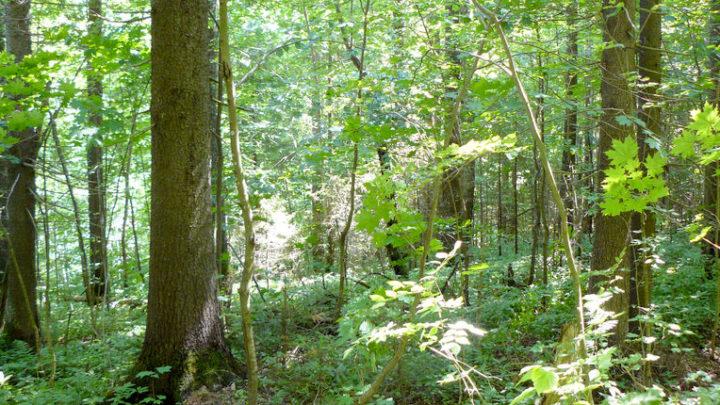 Эталонные насаждения ели — ботанический памятник природы